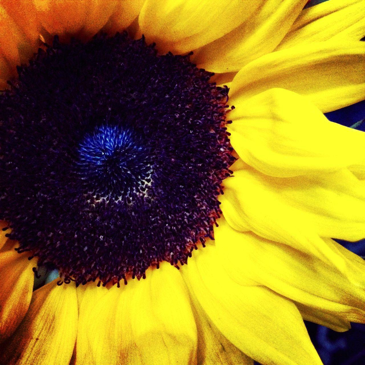Macro Shot Of Sunflower Blooming Outdoors