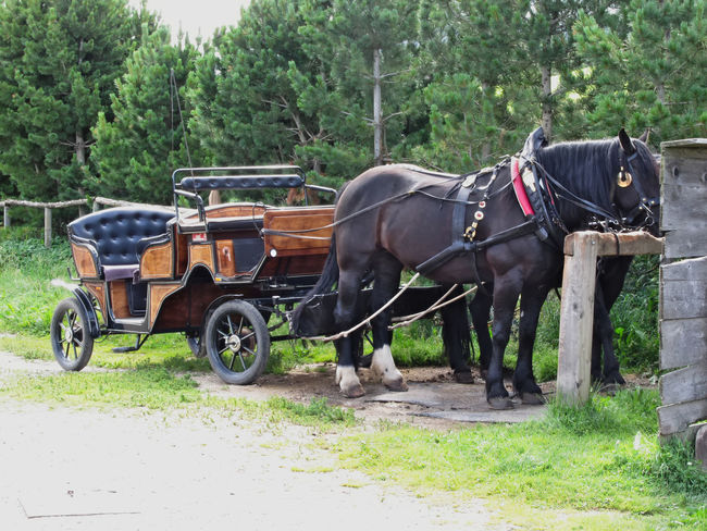 Touristic horse drawn calash waiting for clients Action Animal Armchair Bridle Calash Calèche Carriage Harness Horse Horse Cart Leisure Activity Mode Of Transport Motion Outdoors Recreational Pursuit Relaxation Riding Speed Thoroughfare Tourism Tourist Transportation Wheel Whip Wood