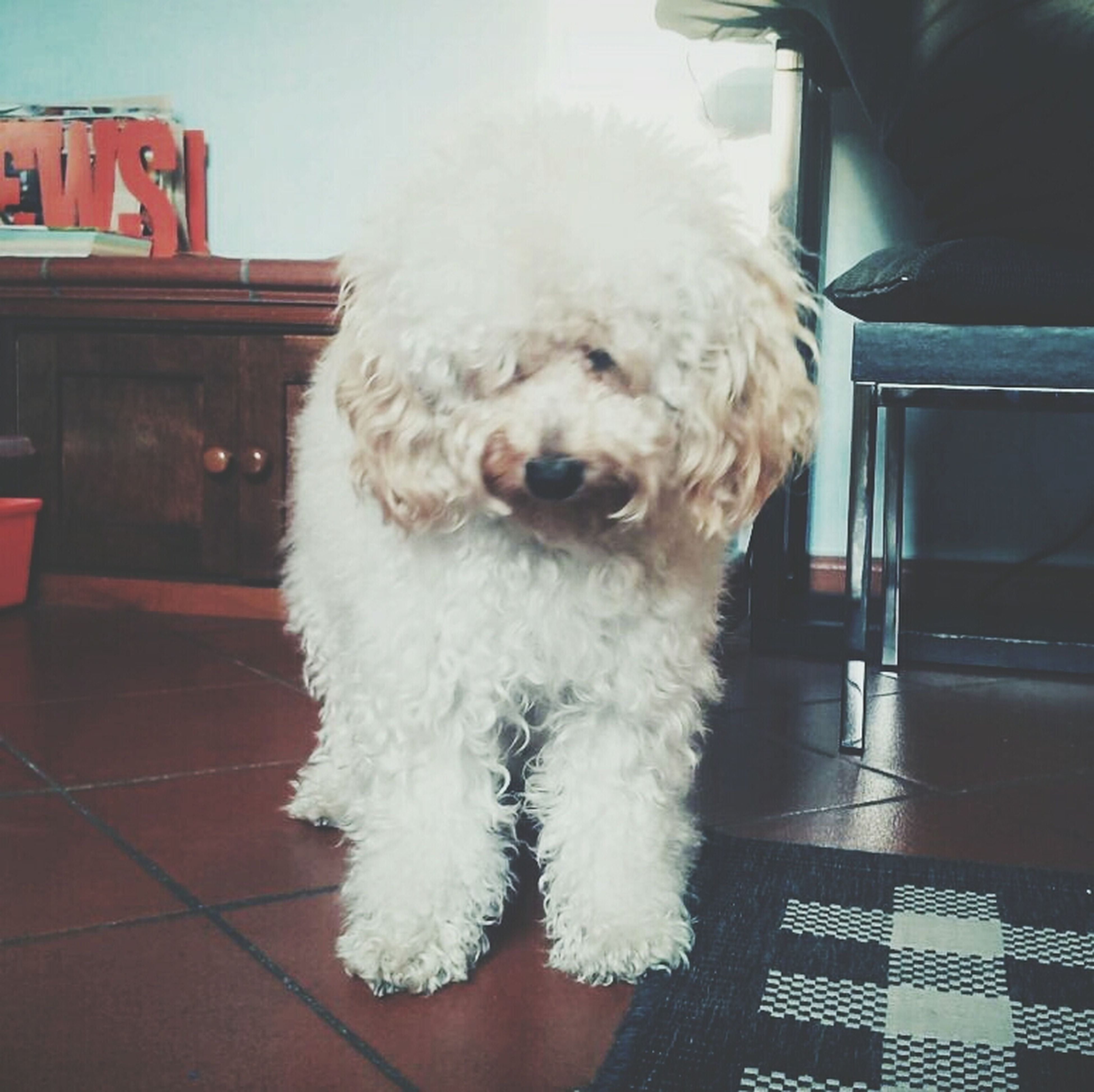domestic animals, pets, one animal, animal themes, mammal, dog, white color, animal hair, close-up, animal head, indoors, no people, looking away, day, front view, built structure, building exterior, house, architecture