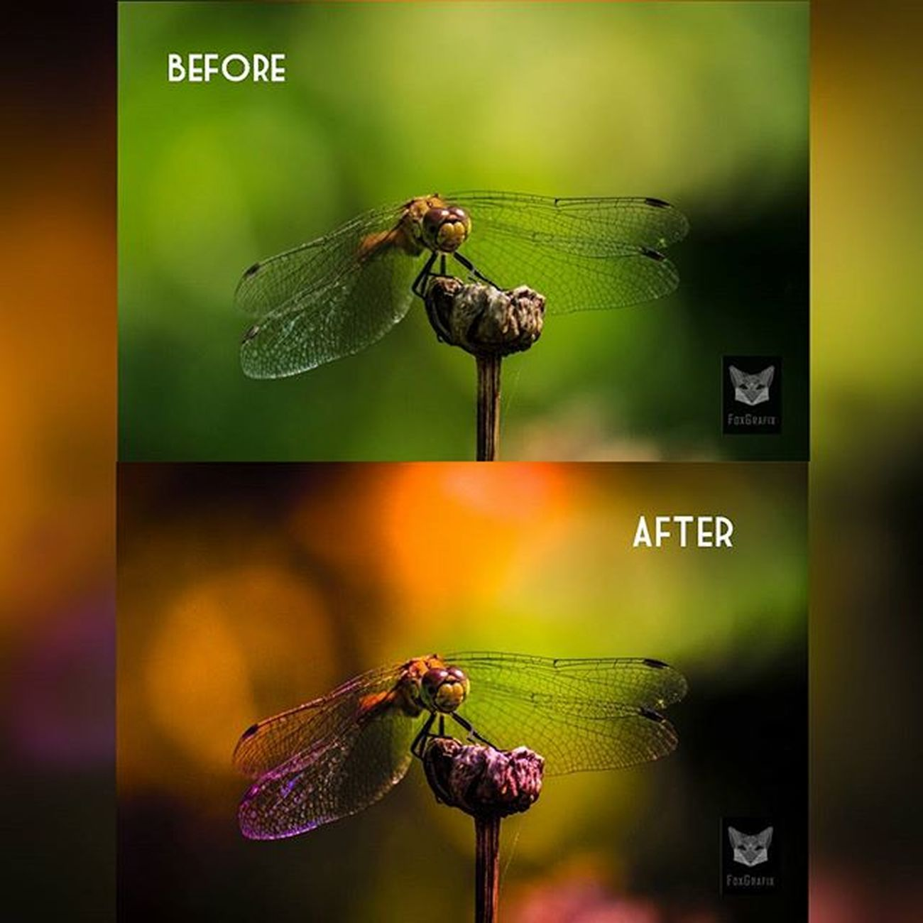 Before and after, image editing, photoshop and lightroom 😄 What do you think? Heidelibelle/Darter Photographyislife Photgraphy Fotografie Braunschweig Riddagshausen Fototour Heidelibelle Darter Naturfoto Naturephotography Libellen Libelle Dragonfly Photoshopped Lightroom5