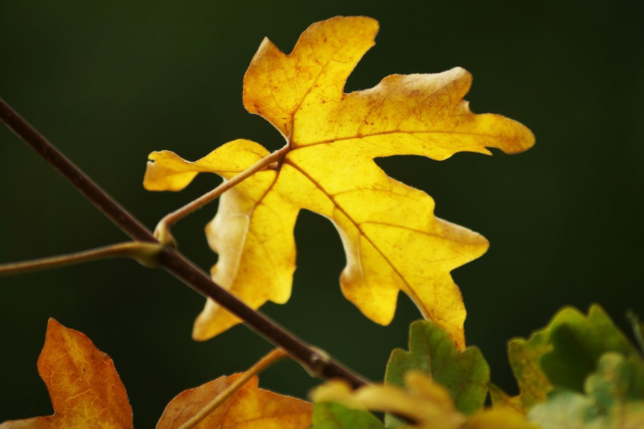 Leaf Close-up Yellow Autumn Focus On Foreground Nature Leaves Outdoors Natural Condition Beauty In Nature Showcase August Sweden Hagalund Swedish Nature August 2016 Niklas TakeoverContrast Maximum Closeness My Year My View