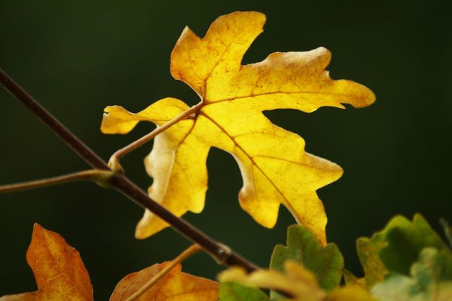 Leaf Close-up Yellow Autumn Focus On Foreground Nature Leaves Outdoors Natural Condition Beauty In Nature Showcase August Sweden Hagalund Swedish Nature August 2016 Niklas TakeoverContrast Dramatic Angles Maximum Closeness