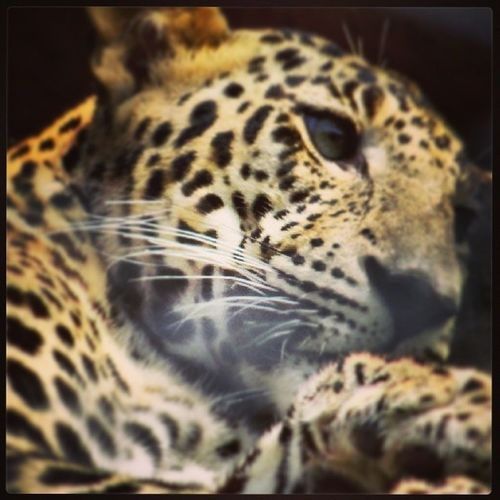 clicked by Pointandshoot Cam Sonycybershothx50v @nehru zoological park,hyderabaad IndiaLeopardCat Closeup Photography Emotional Photography Animalphotography Wildlife Photography Zoophotography Zooanimal Leopard ' ♥ Lovemycamera Things I Like.... Showcase April Close Up Technology