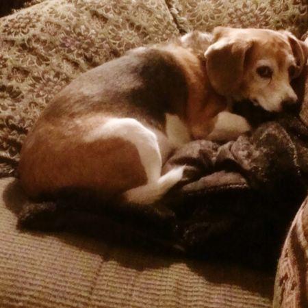 Warm puppy soft puppy little ball of fur... Sleeping Dog Spoiled Dog Beaglemania Beaglelovers Beagles Of Eyyem