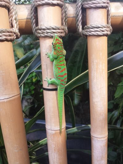 Inside the Climatron, a brilliantly colored lizard. In this sub tropical climate. Garden Photography