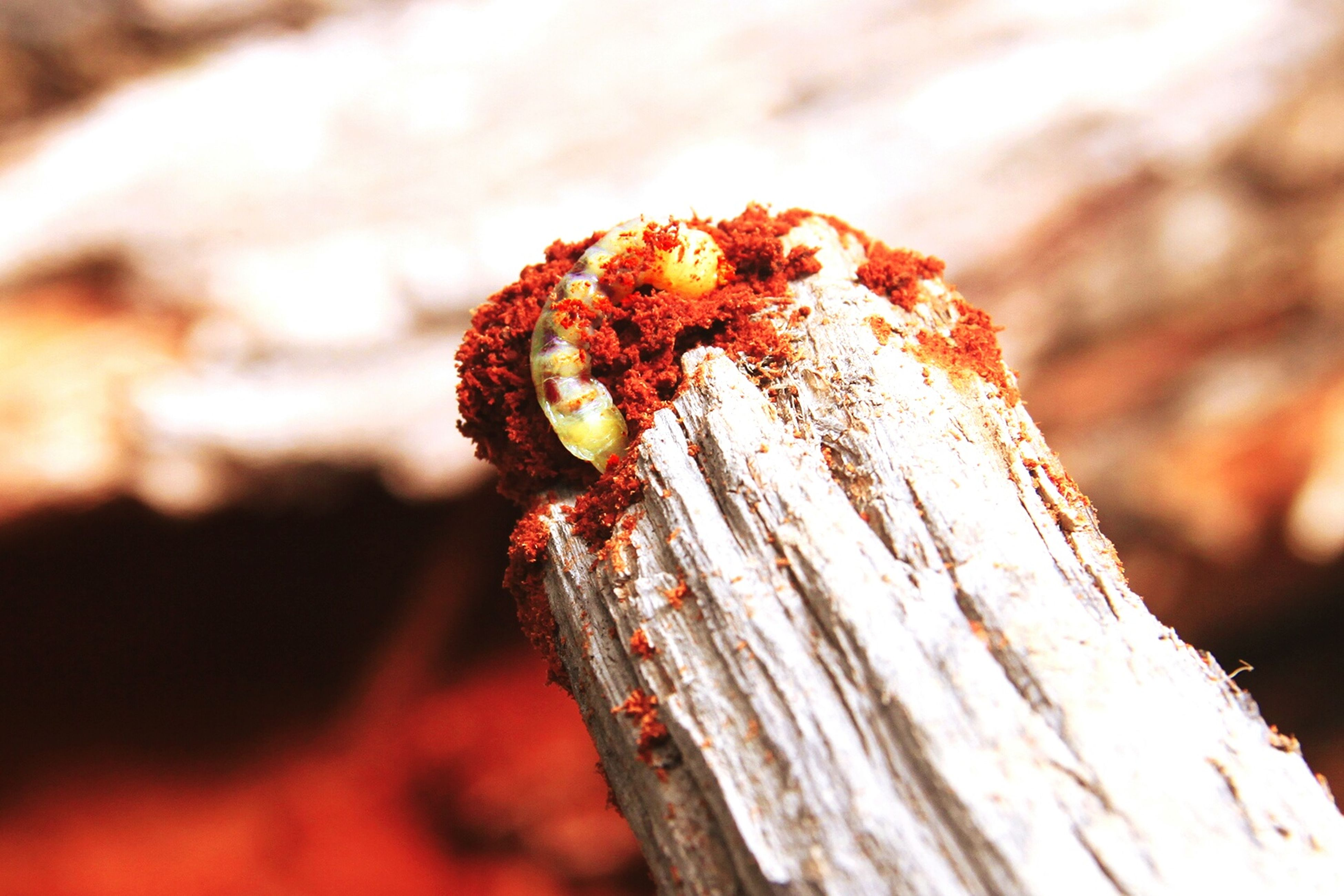 focus on foreground, close-up, animal themes, selective focus, one animal, insect, red, nature, wood - material, animals in the wild, wildlife, textured, brown, outdoors, day, no people, tree trunk, beauty in nature, natural pattern, dry