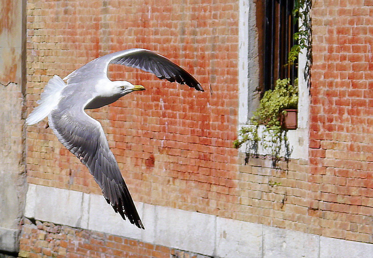 Bird Flying On The Fly Seagull Spread Wings Urban Birds Venice Caught In The Moment Adapted To The City