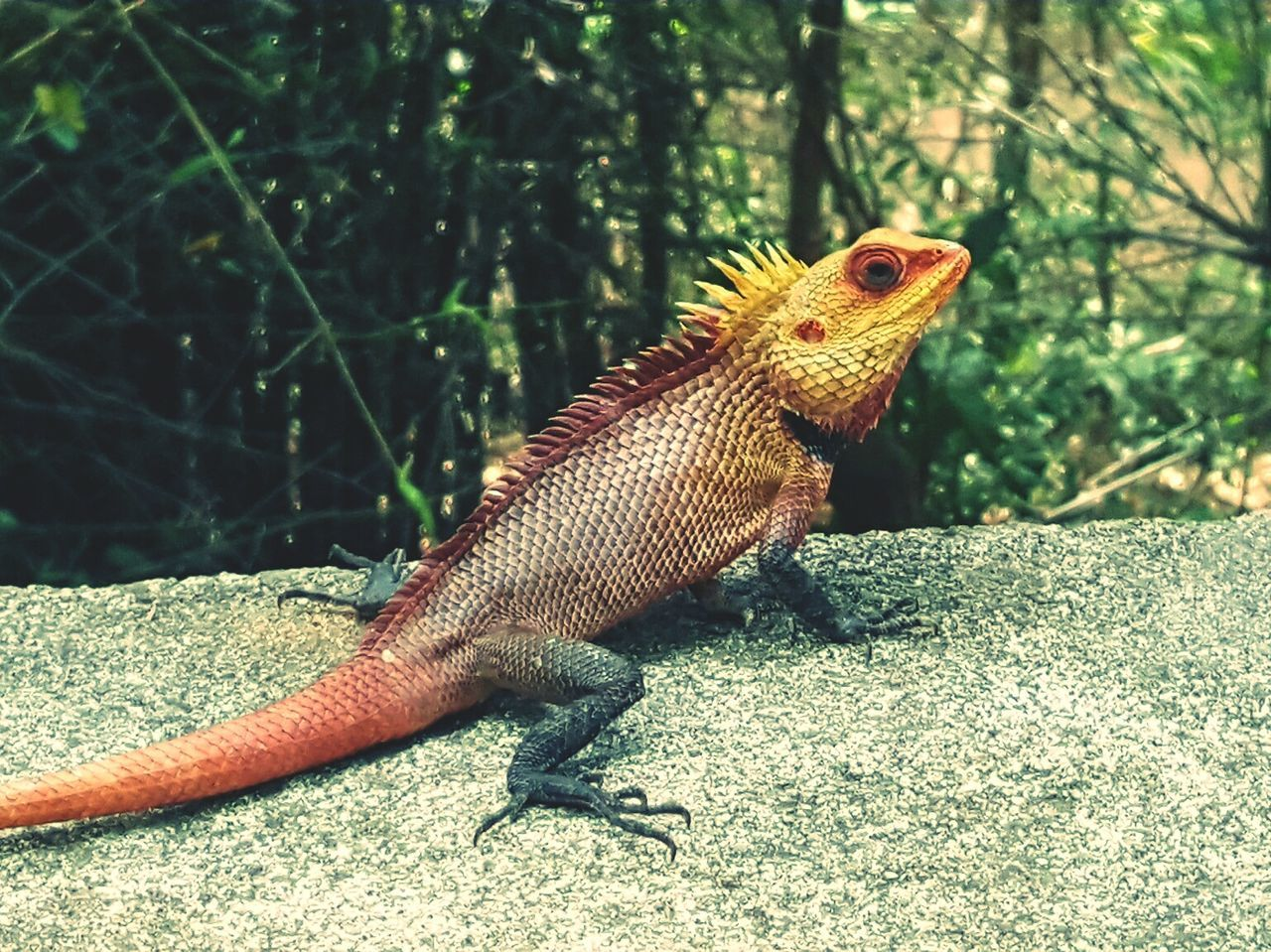 Colourful Lizard Wildlife EyeEm Nature Lover Moment Captures Click Click 📷📷📷 The Great Outdoors With Adobe Taking Photos India The Great Outdoors - 2016 EyeEm Awards Closeupshot EyeEm Colour Of Life