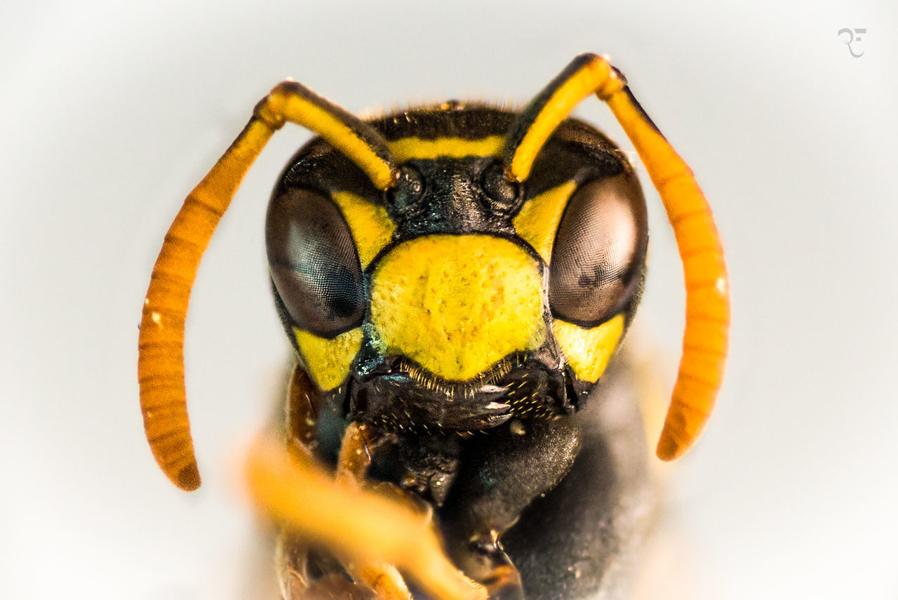 Extreme macro of a wasp. It's the result of 5 HD shots combined to one all sharp picture. Marco Close-up White Background Extreme Close-up Yellow Animal Wasp Fly Extreme Macro High Definition Detail Eye Facettes