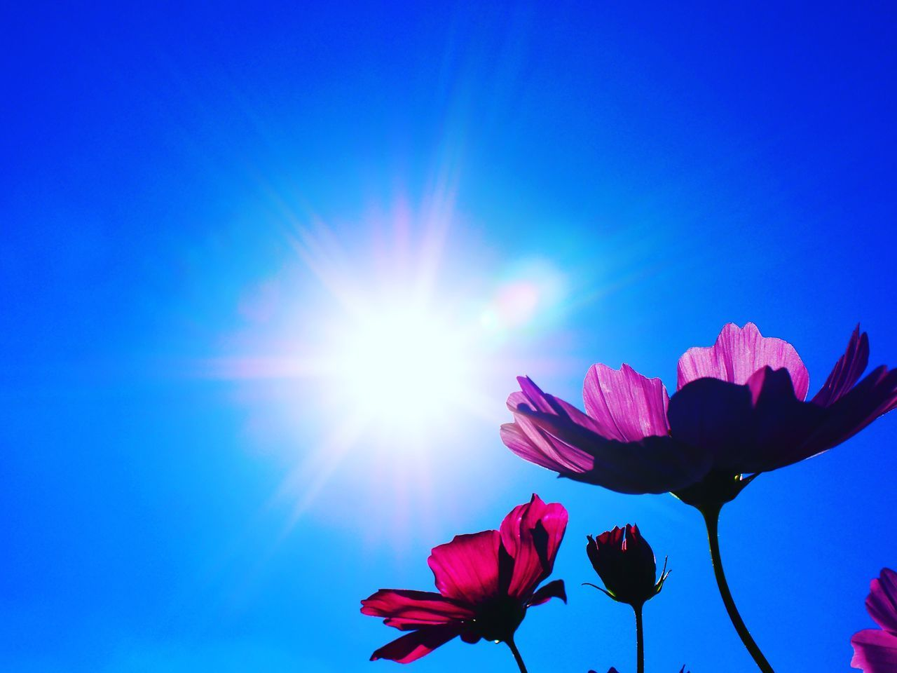flower, beauty in nature, fragility, petal, nature, freshness, flower head, sunlight, growth, pink color, lens flare, blooming, no people, blue, sky, sun, plant, low angle view, outdoors, day, close-up, springtime