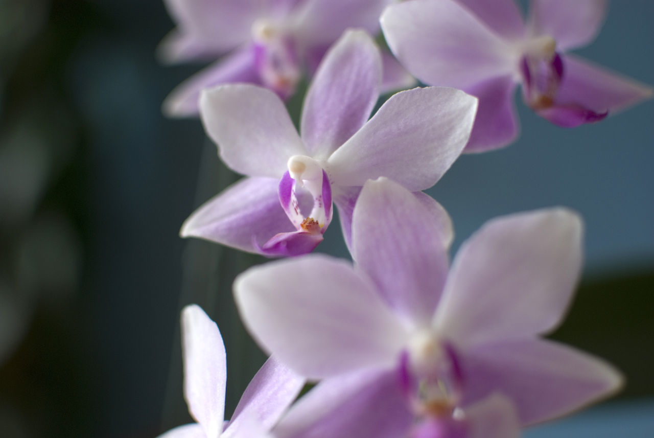 Close-Up Of Purple Orchids