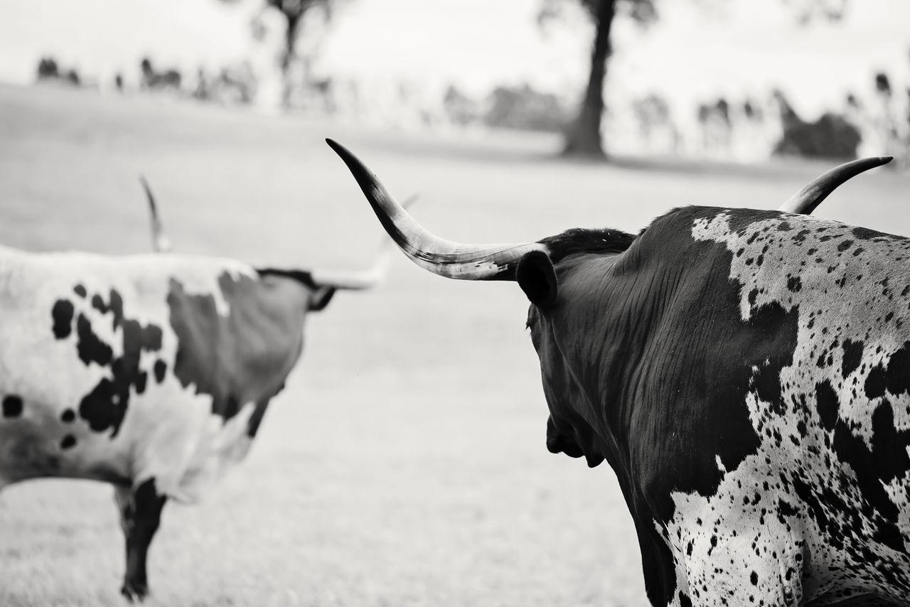 Animal Animal Photography Animals Black And White Photography Bulls Cow Cow Art Cow Photography Cows Landscape Longhorn Longhorn Bull Longhorn Bulls Longhorns Mammal Nature Outdoors