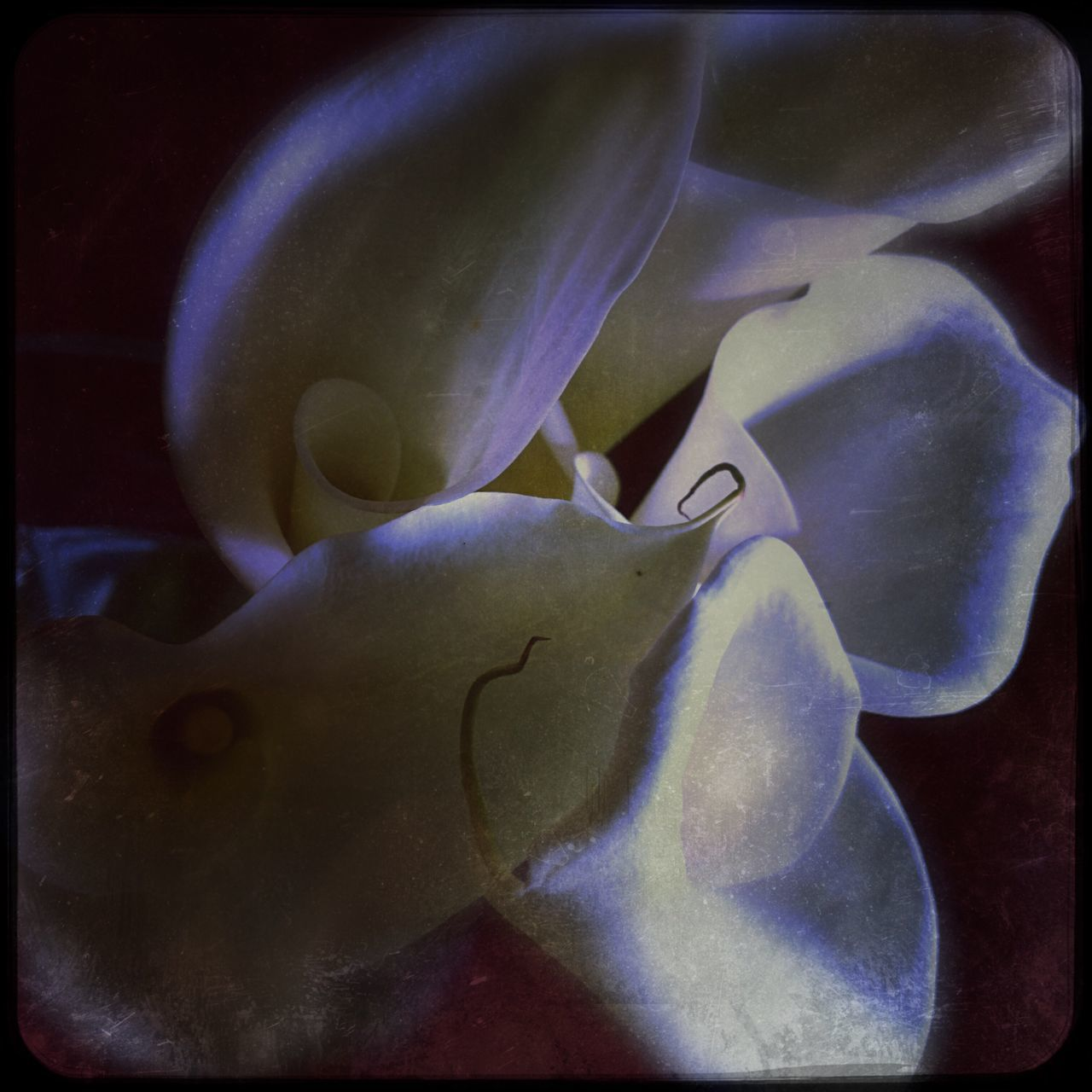Nature Water Fragility Underwater Beauty In Nature Close-up Sea Life Flower No People Animal Themes Freshness Animals In The Wild Flower Head UnderSea Aquarium Sea Anemone Outdoors Day Calla Lily