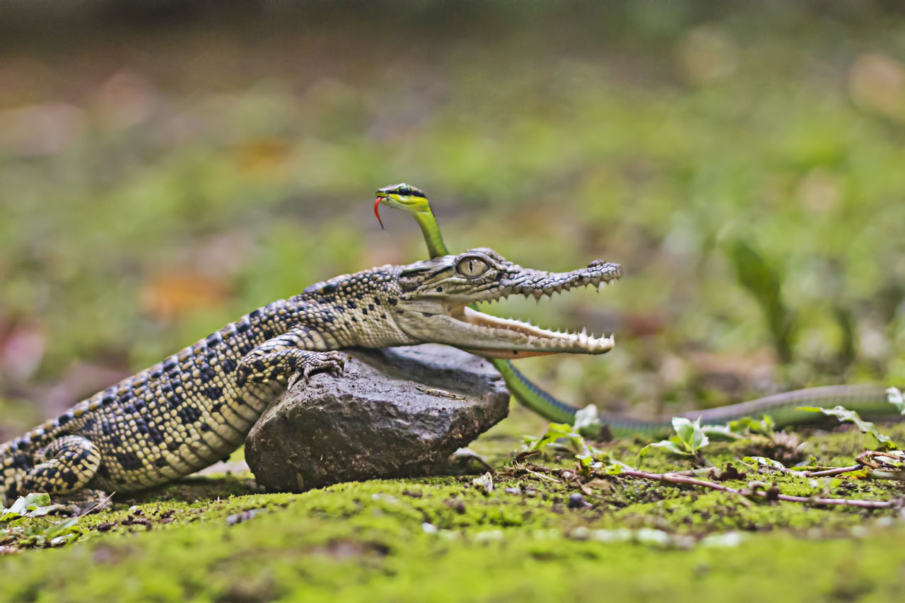 crocodiles and snakes Animal Animal Themes Animal Wildlife Animals In The Wild Crocus Fighting Grass Mammal Nature No People One Animal Outdoors Reptile Side View Snake