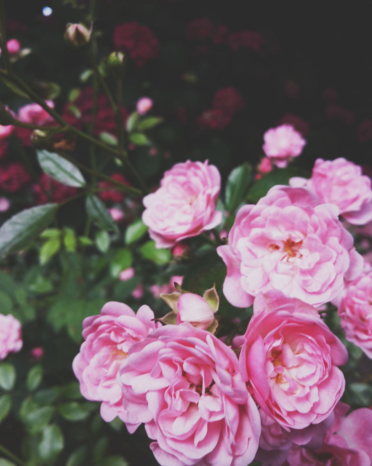 Nature Flower Roses Pastel
