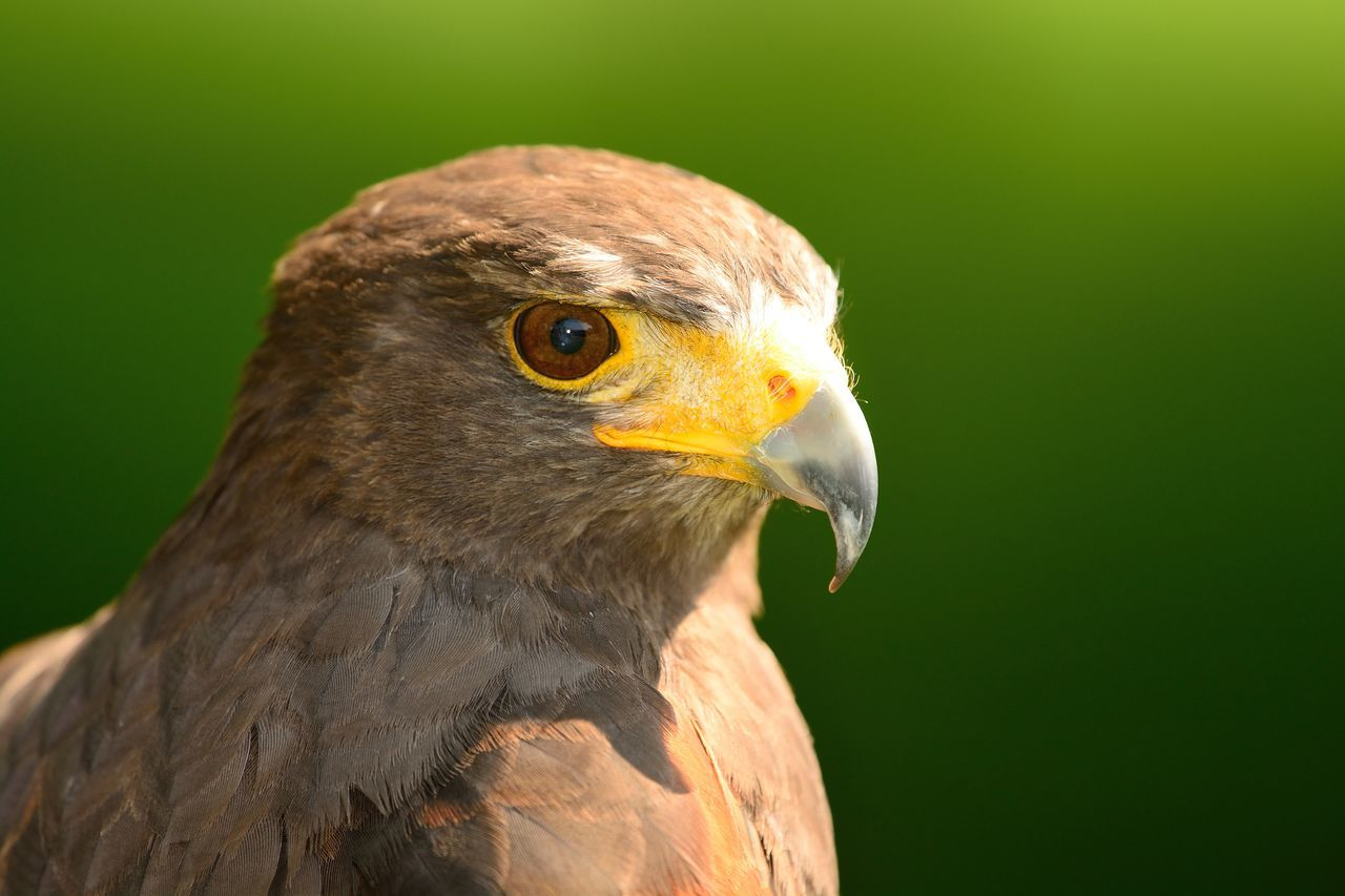 Animal Themes Animal Wildlife Animals Animals In The Wild Beauty In Nature Bird Bird Of Prey Check This Out Close-up Day Eye4photography  EyeEm Best Shots EyeEm Nature Lover Focus On Foreground Harris Hawk  Hawk Headshot Nature Nature_collection No People One Animal Outdoors Portrait Selective Focus Taking Photos
