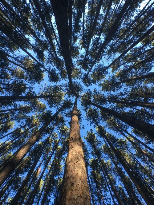 Bamboo Grove Beauty In Nature Day Forest Growth Low Angle View Nature No People Outdoors Scenics Sky Straight Tall Tall - High Tranquility Tree Tree Area Tree Trunk