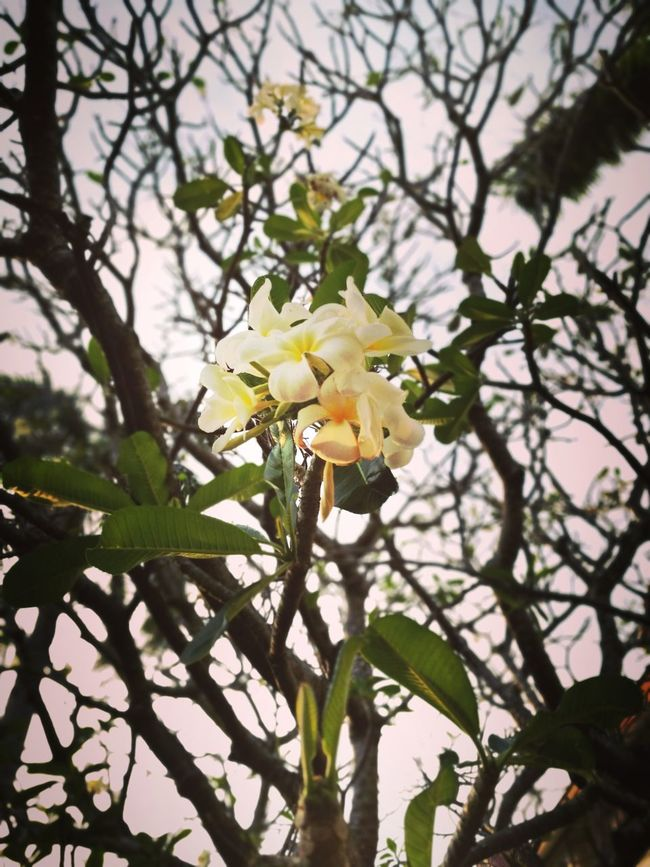 Branch Tree Flower No People Nature Springtime Day Close-up Outdoors Beauty In Nature Fragility Freshness Flower Head Thailand Lopburi Thailand Lopburi Location