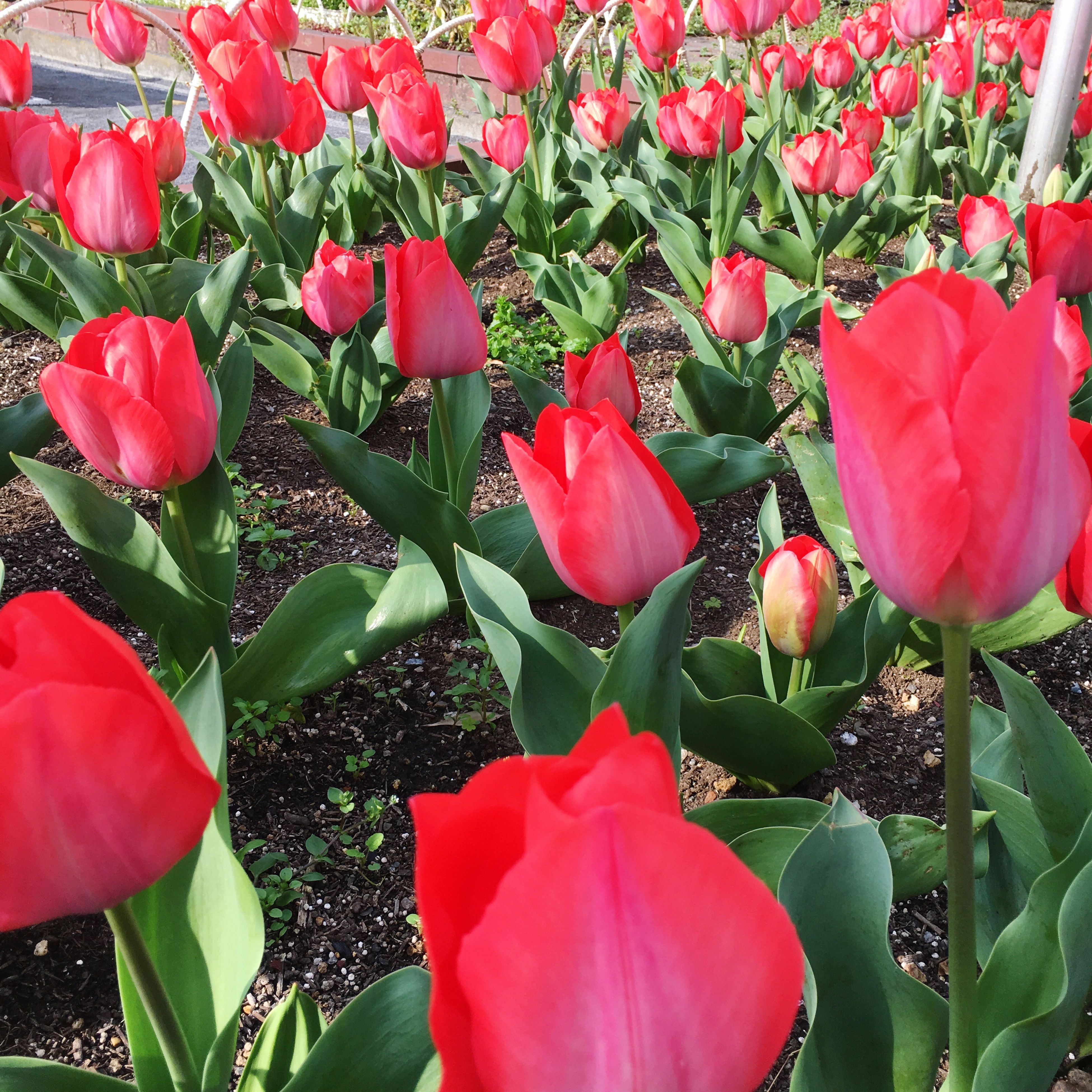 flower, freshness, red, petal, growth, fragility, beauty in nature, tulip, leaf, flower head, plant, blooming, nature, pink color, in bloom, blossom, close-up, botany, day, field