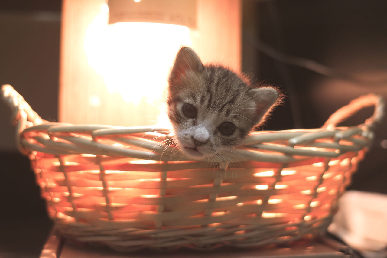Cat Kitten Animals DP2x