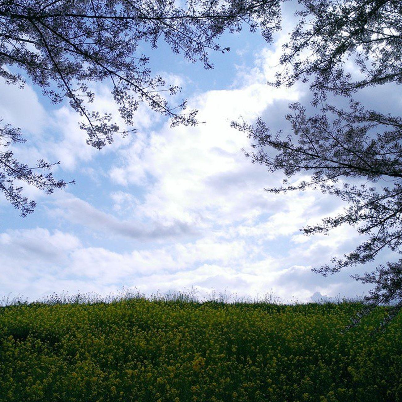 桜もまだ終わってないよー(ㆁωㆁ*) Vscocam 春の花 Springhascome Spring Flower Nature Cherryblossom 菜の花