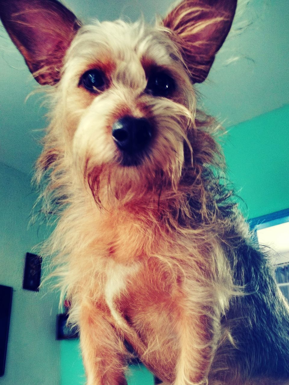 pets, domestic animals, dog, one animal, mammal, animal themes, indoors, portrait, looking at camera, close-up, home interior, no people, day
