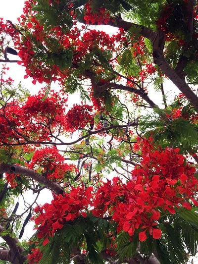 Tree Flower Nature Day Sky Red Flores Cuba Matanzas Trip Aroundtheworld Green Red Verde Rojo Viajar Arboles