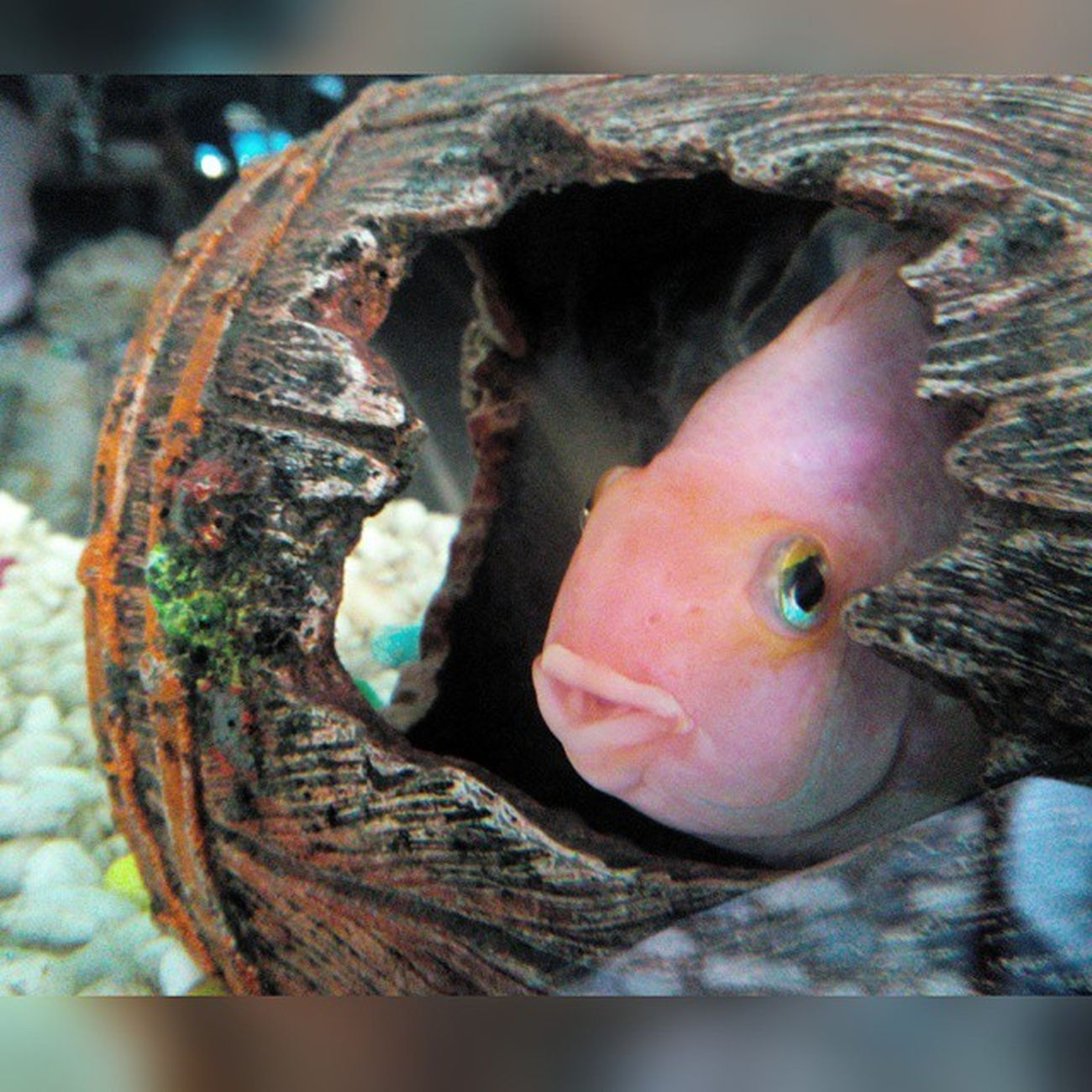 Beauty of d aquarium Love dis fish 🐠 Babypink in d barrel Photooftheday Hdrimage Hdr_gallery Hdr_love Hdrfreak Hdrama Hdrart HDRphoto Hdrfusion Hdrmania Hdrstyles Ihdr Str8hdr Hdr_edits Canvas 4 click 😍 1/2*