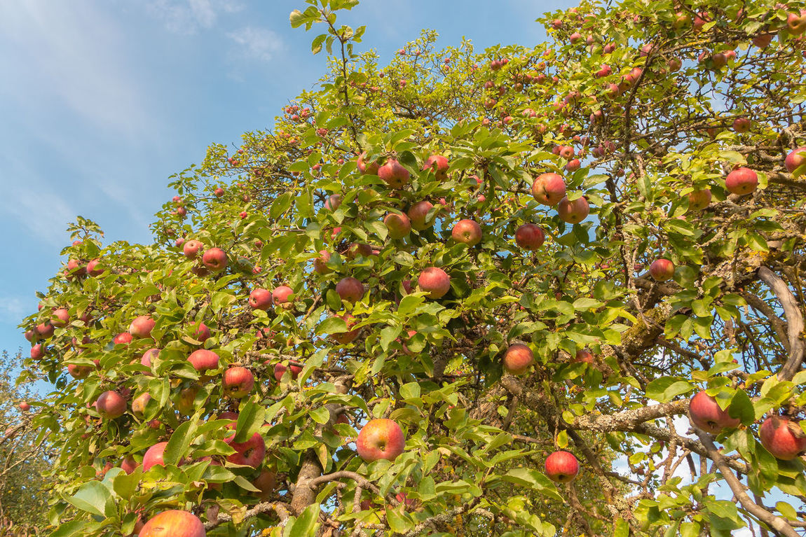 a apple tree in autumn Fruits, Leafs, Green Leaf, Water, Water Drops Leafs Apple Tree Apples, Tangerines, Cucumber, Purple Cabbage, Avocado, Bell Pepper, Oranges Autumn, Fall, Leaves, Forest Nature, Sky,