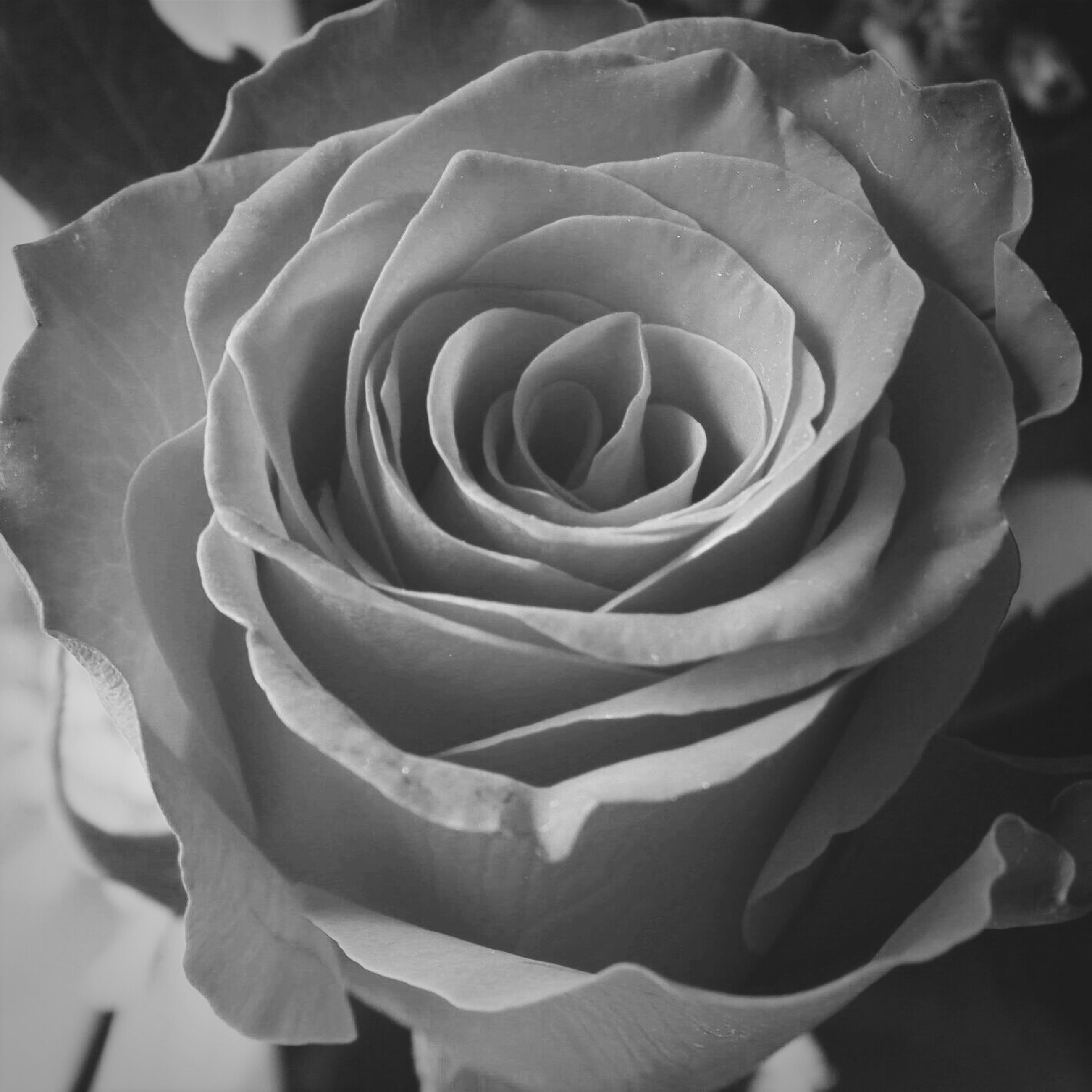 flower, petal, flower head, fragility, freshness, rose - flower, single flower, beauty in nature, close-up, growth, nature, blooming, rose, focus on foreground, in bloom, plant, single rose, natural pattern, blossom, no people