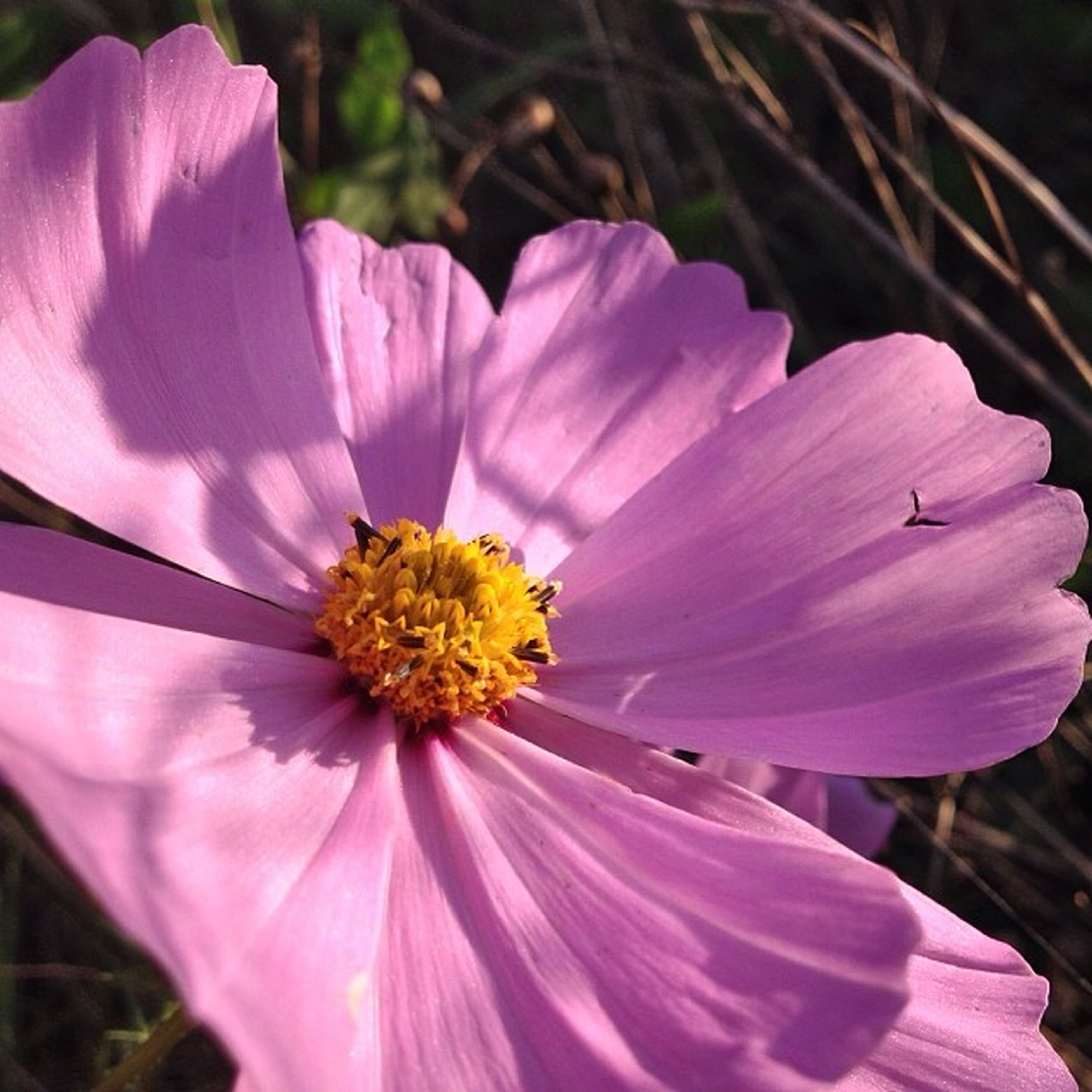 flower, petal, freshness, flower head, fragility, pink color, close-up, pollen, beauty in nature, stamen, single flower, growth, nature, blooming, focus on foreground, purple, blossom, in bloom, plant, no people