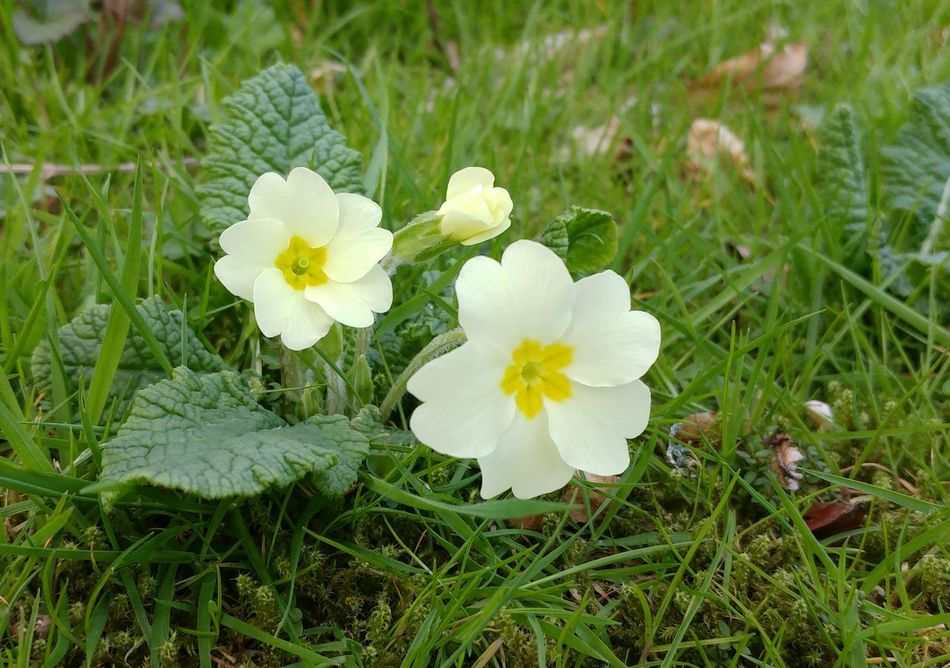 Flower Green Color Nature Growth White Color Flower Head Plant Beauty In Nature Grass Freshness Outdoors No People Close-up Day Fragility Primrose Primroses Spring Flowers Spring Springtime