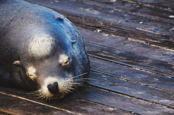 Sea Lions Animal Portrait Sleeping Connected With Nature The Portraitist - 2015 EyeEm Awards Portrait Of America Taking Photos Open Edit