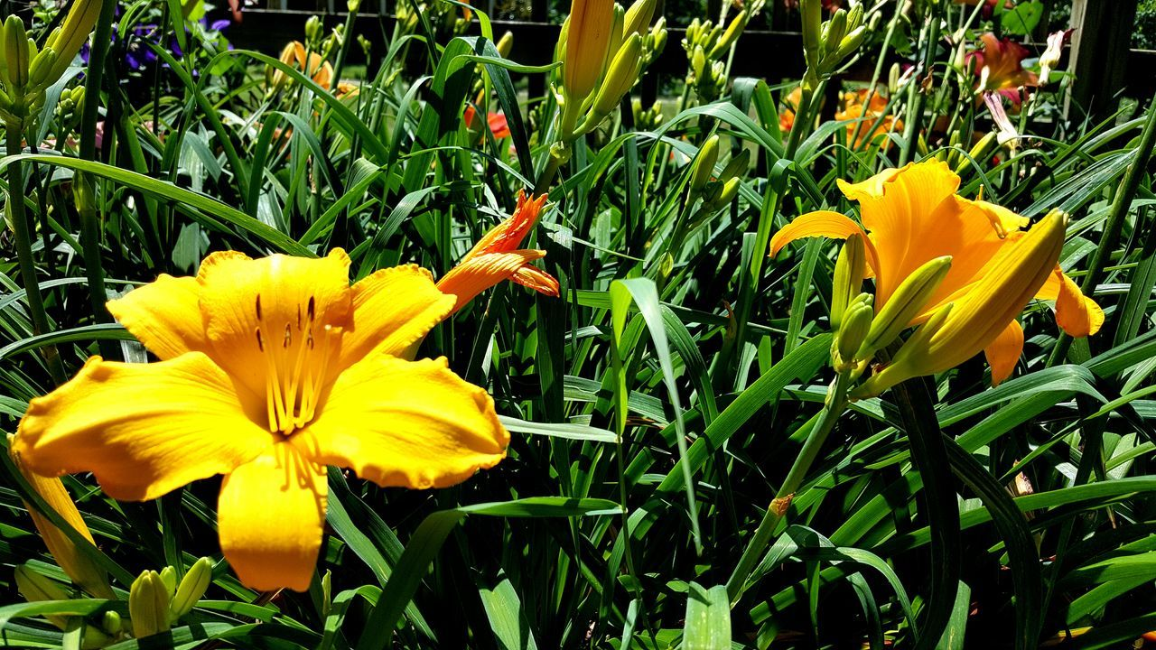 flower, yellow, petal, growth, flower head, fragility, beauty in nature, freshness, blooming, nature, plant, field, outdoors, day, no people, close-up, green color, day lily, crocus