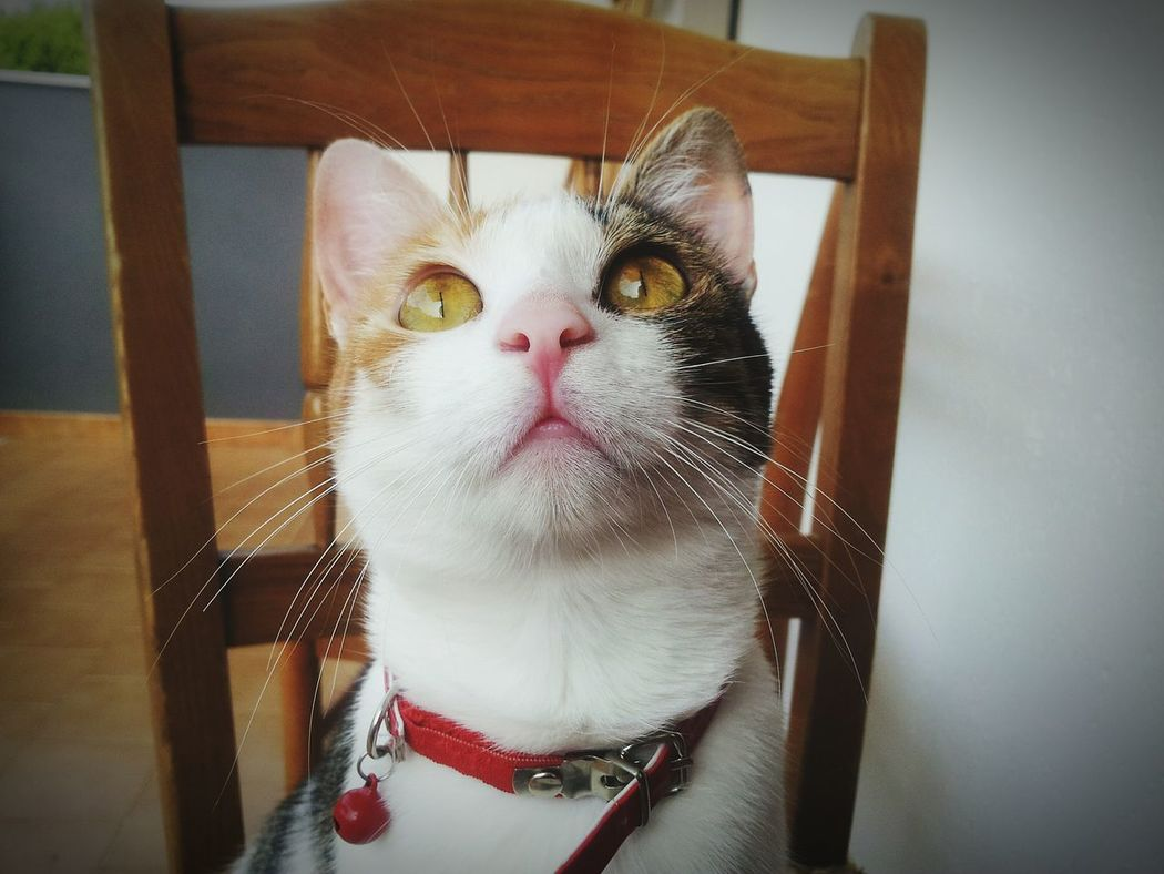 Cat Lovers Pets Domestic Cat Domestic Animals Feline Cats Of EyeEm Cats 🐱 Cat EyeEmNewHere Macro Gatto Tricolor Cat Eyes Green Eyes Pet Portraits The Week On EyeEm