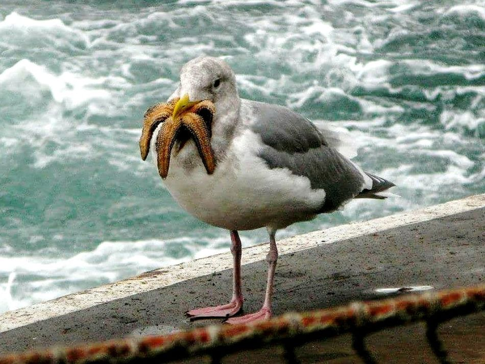 Here's another shot of starfish vs seagull. Don't know what the final outcome was, as he flew away with his prize. Bird One Animal Nature Sea Animal Wildlife Water Beak No People Outdoors Day Close-up Wave Water Seagull Gull Shorebird Eye4photography  Eating Starfish  Glutton For Punishment Check This Out EyeEm Gallery Food