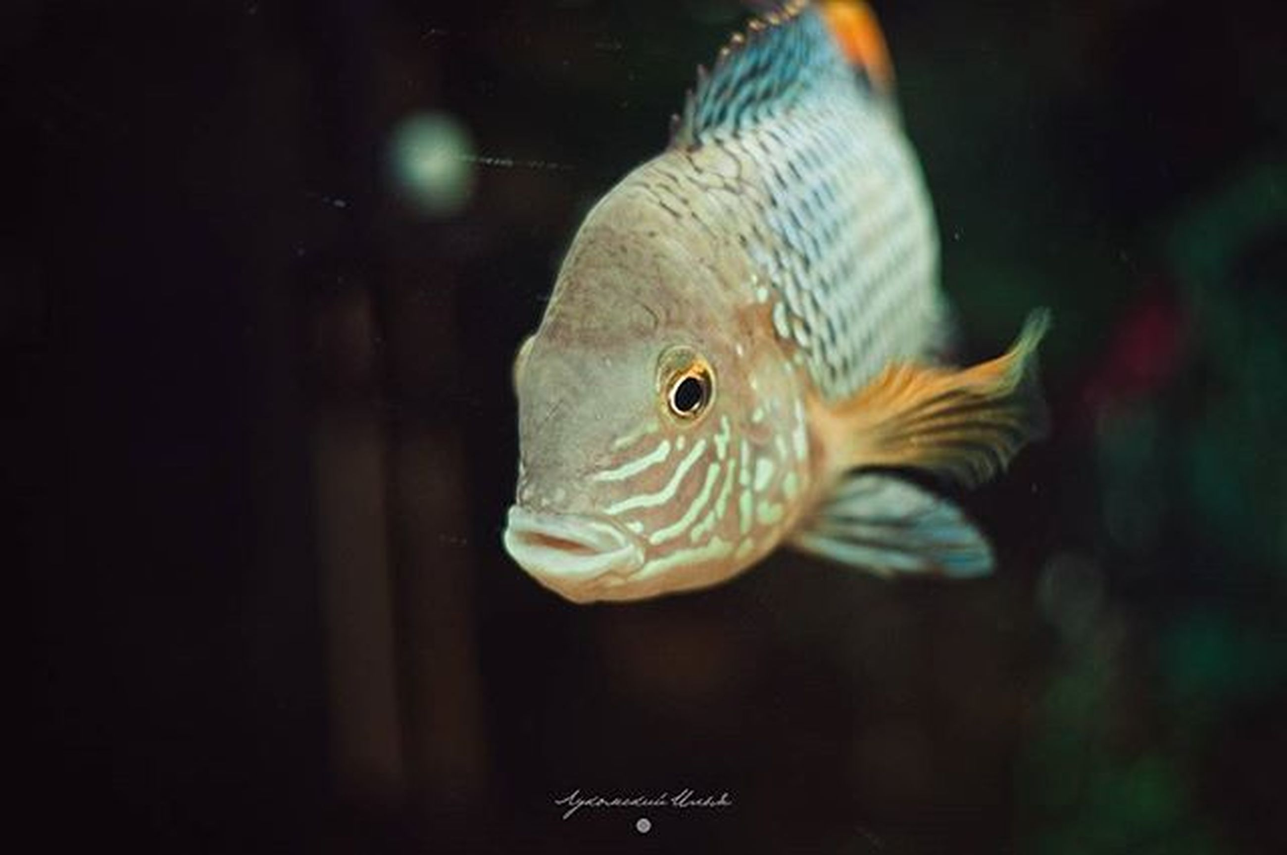 animal themes, animals in the wild, one animal, wildlife, underwater, swimming, sea life, close-up, fish, nature, undersea, animal markings, beauty in nature, zoology, aquarium, focus on foreground, water, natural pattern, side view, no people