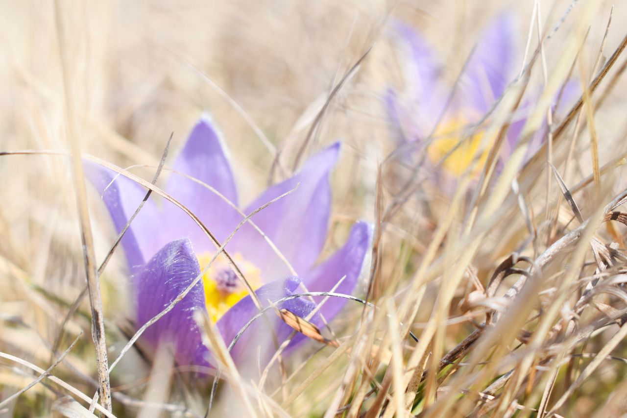flower, petal, purple, growth, nature, plant, beauty in nature, fragility, selective focus, field, no people, close-up, flower head, crocus, outdoors, day, freshness, grass