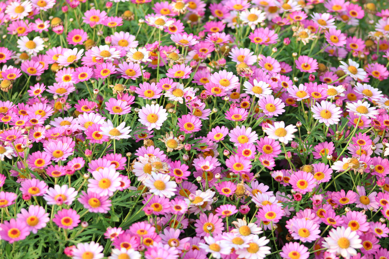 Margaret Backgrounds Beauty In Nature Blooming Close-up Day Flower Flower Head Flowers, Flower, Field, Spring, Beautiful, Nature, Background, Plant, Green, Summer, Garden, Floral, Landscape, Fresh, Nobody, Day, Blossom, Scenic, Beauty, Natural, Colorful, Bright Fragility Freshness Full Frame Growth Nature No People Outdoors Petal Plant