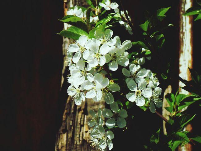 Cherry Flowers Spring Flowers Flowers In Bloom