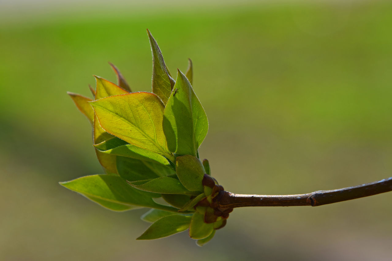 young apricot tree leaves Apricot Tree Beginnings Botany Close-up Day Fresh Freshness Green Green Color Growing Growth Leaf Leaves Nature Plant Spring Springtime Tranquility Twig Young Nature's Diversities Color Palette