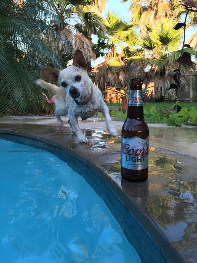 Chuhuahua Hanging Out Relaxing Beer