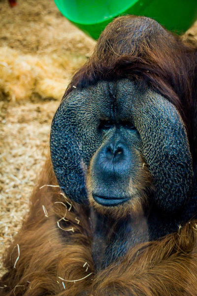 Nature Zoo Animal Animal Photography Animal Themes Animal Wildlife Animal_collection Animals Close-up Monkey No People One Animal Orangatang Zoo Animals  Zoophotography