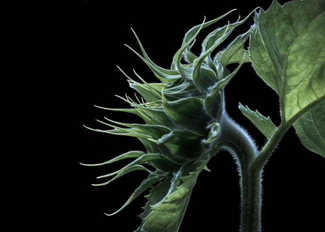 Darkness Falls on the Sunflower Beauty In Nature Black Background Botany Branch Close-up Extreme Close-up Focus On Foreground Fragility Freshness Green Color Growth Leaf Nature Plant Plant Life Scenics Softness Spiked Studio Shot TakeoverContrast Tranquility