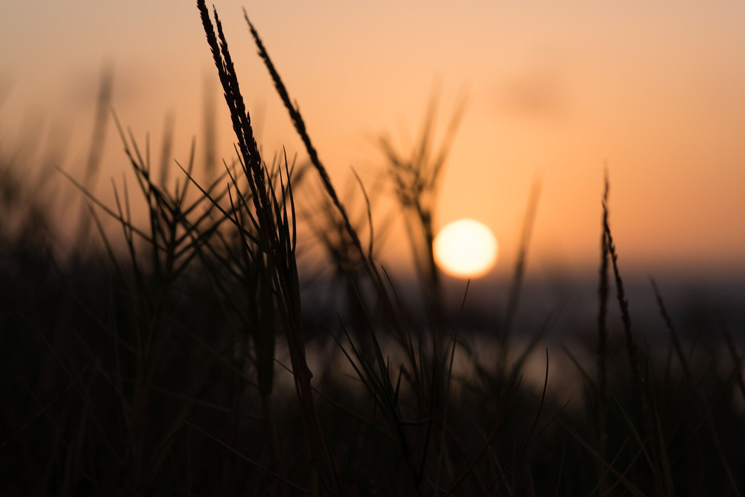 sunset, growth, sun, plant, nature, grass, beauty in nature, focus on foreground, tranquility, tranquil scene, field, close-up, scenics, orange color, stem, silhouette, selective focus, sky, idyllic, stalk