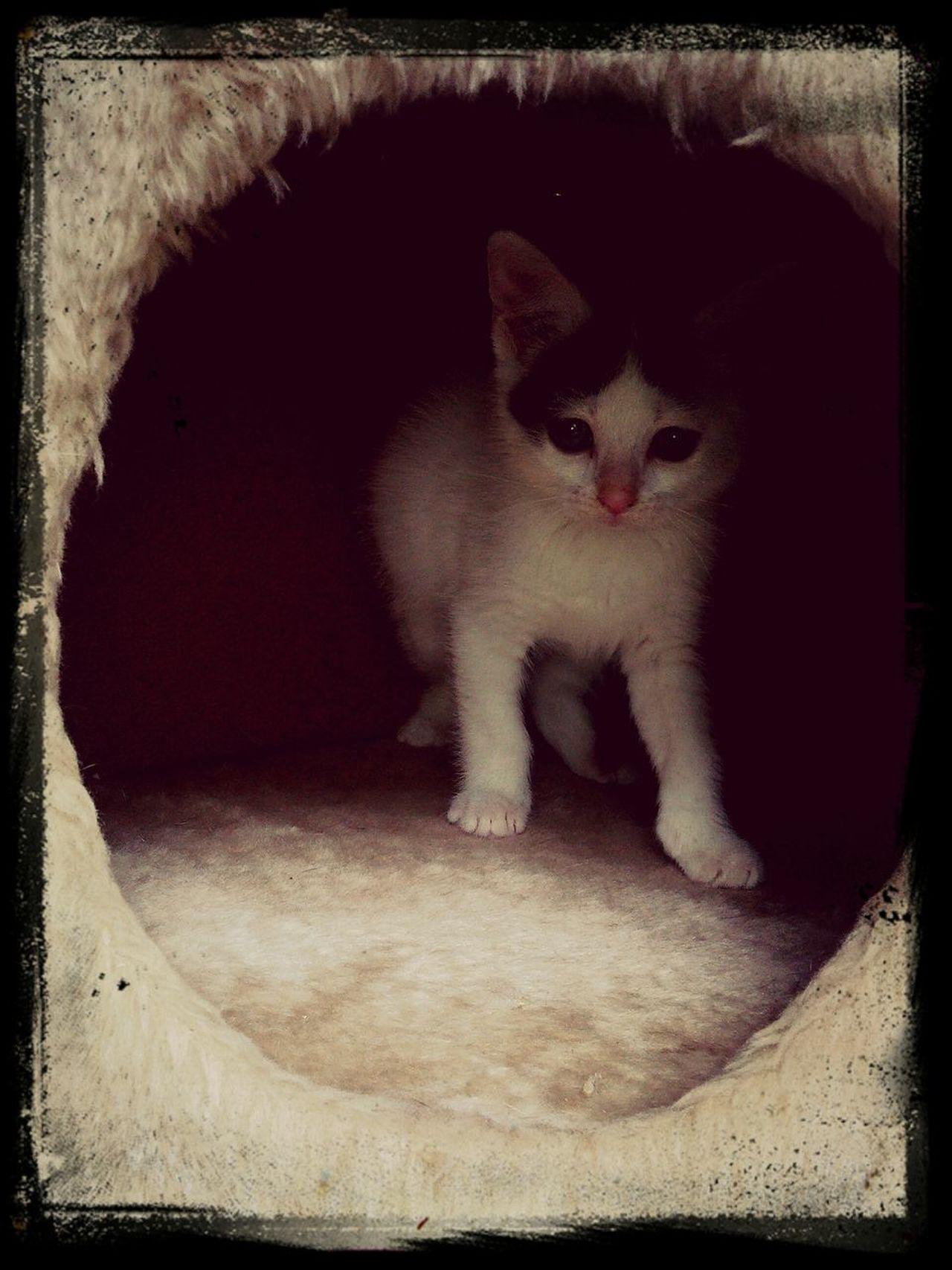 Zaandijk Garden Tiger Kitten.