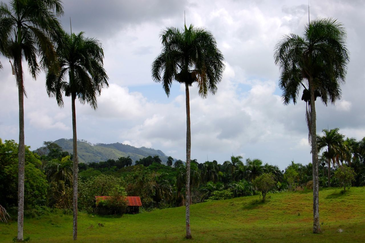 Tree Palm Tree No People Agriculture Outdoors Rural Scene Nature Growth Field Grass Beauty In Nature Greettheoutdoors Travel Photography Caribbean Explore The World ExploreEverything Building Exterior Dominican Republic Optoutside Green Color Tree Palm Tree Relaxation Vacation Tranquil Scene