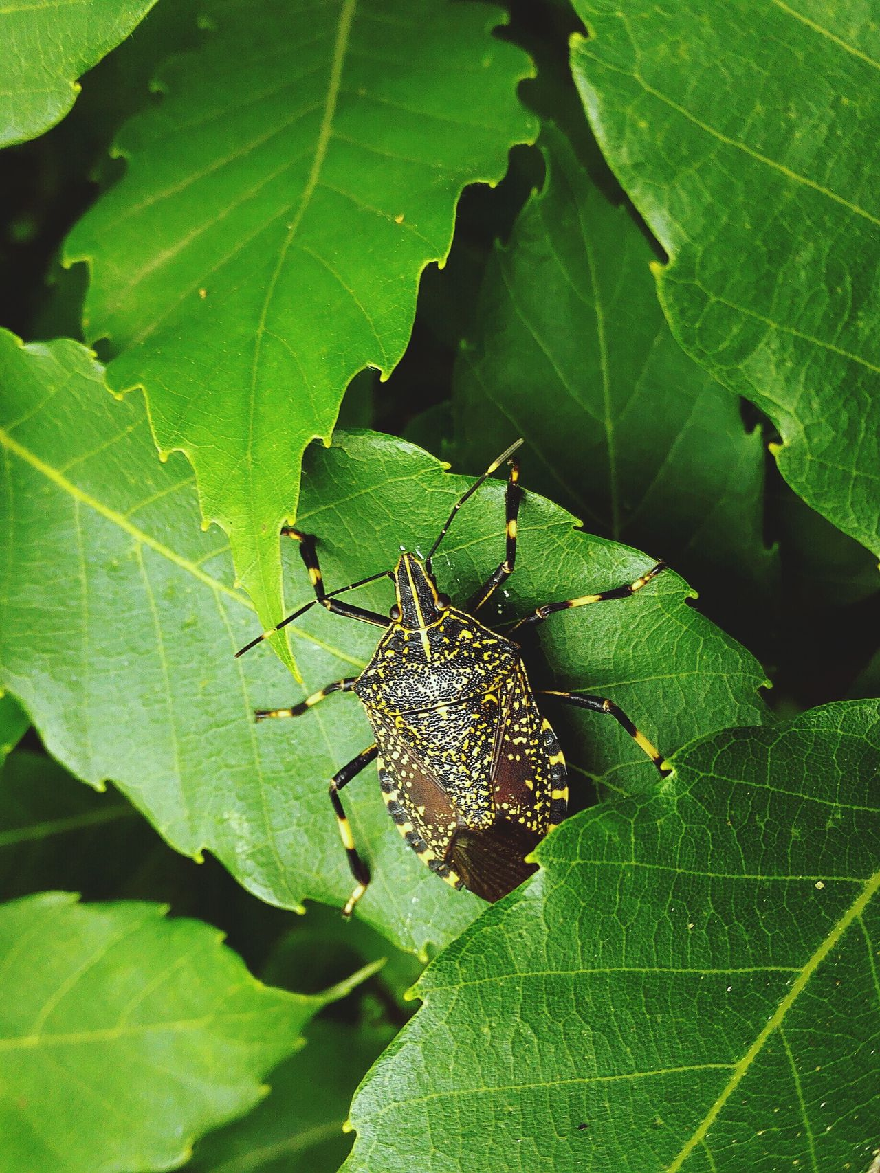 It's gloomy season for Insect assholes. well-see stink bug.It is clear feather pattern. Bug Stinkbug