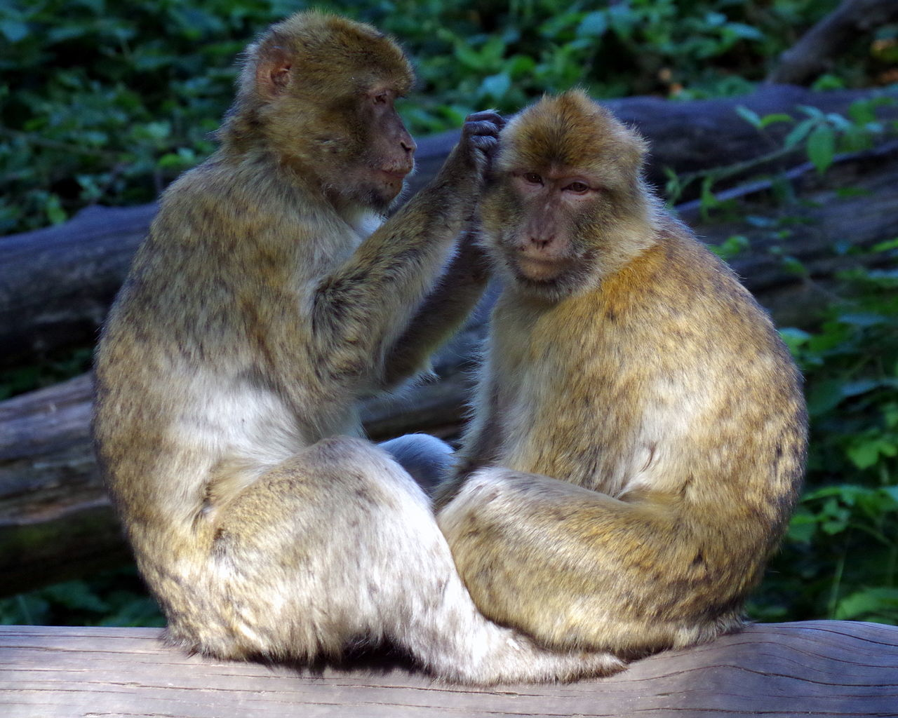 Affe Animal Fellpflege Grooming Monkey Primat Primate Sitting Sitzen Tier Two Animals Zoologie Zoology