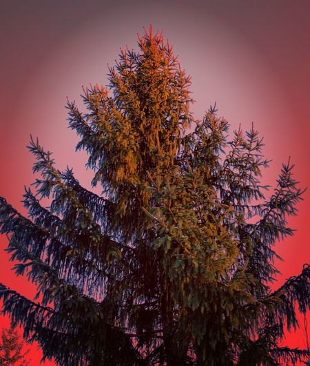The tannenbaum Tree Sunset No People Nature Beauty In Nature Outdoors Abstract Christmas Tree Chrismast Tannenbaum Trees Treetop Trees And Sky Abstract Nature